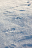 The wolf prints in the snow plain Royalty Free Stock Photos