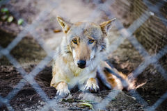 Wolf in the prison Stock Image