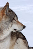 Wolf profile Stock Image