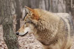 Wolf profile. Profile look of a grey wolf Royalty Free Stock Photos