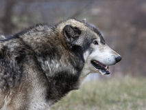 Wolf Profile Close up Royalty Free Stock Image