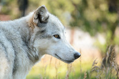 Wolf profile Stock Images