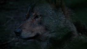 Wolf Profile View In The-Avond stock videobeelden
