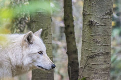 Wolf on the Prowl. Wolf prowling through the woods Royalty Free Stock Image