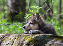 Wolf Pup. Profile of head and shoulders of a young wolf pup looking over fallen tree Stock Image
