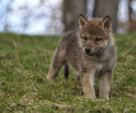 Free Wolf Pup Stock Photography - 54231752