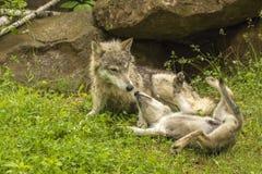 Wolf And Pup Fotografía de archivo libre de regalías