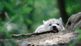 Wolf pup. Arctic Wolf pup licking a bone Stock Images