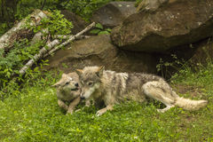 Wolf And Pup. Wolf pup begging for attention from adult at den site Stock Photos