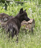 Wolf pup Stock Images