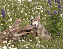 Wolf Pup Chewing on Log in Meadow of Wildflowers Stock Photos