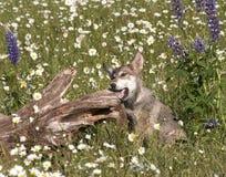 Wolf Pup Chewing op Login Weide van Wildflowers stock foto's