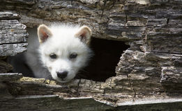 Wolf pup Royalty Free Stock Images