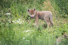 Wolf Pup With Daisies arctique mignon Image stock