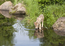Wolf Pup Drinking from Lake with Clear Reflection Stock Photo