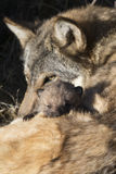Wolf pup with eats peering out over mother. Wolf pup with eyes peering out Stock Images