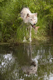 Wolf and Pup at Edge of Lake Stock Photography