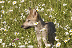 Wolf Pup in Field of Daisies Royalty Free Stock Photos