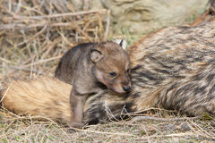 Wolf pup hanging on mother`s tail. In spring Royalty Free Stock Images