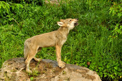Wolf pup howling to his siblings Stock Photography