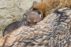 Wolf pup laying on mother Royalty Free Stock Photos