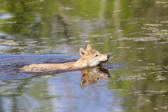 Wolf pup learning to swim Stock Photography