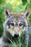 Wolf pup. A little wolf pup. This young is a couple of months old. The photo is made in a small zoo named Landgoed Hoenderdaell in the Netherlands Stock Images