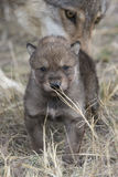 Wolf pup with mother in background. Wolf pup walking with mother in background Royalty Free Stock Image