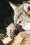 Wolf pup and mother at den Royalty Free Stock Photography