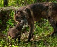 Wolf Pup nero (canis lupus) lecca la bocca della madre Immagini Stock Libere da Diritti