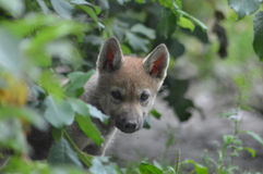 Wolf Pup Royalty Free Stock Image