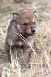Wolf pup portrait Stock Photos