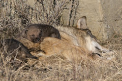 Wolf pup resting on top of mother. In grass Royalty Free Stock Photo