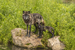 Wolf And Pup. A wolf and a wolf pup standing on a rock Royalty Free Stock Photo