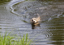 Wolf Pup Swimming Across Lake Fotografia Stock Libera da Diritti