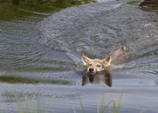 Wolf Pup Swimming. Young grey wolf pup swims for the nearest shore Royalty Free Stock Photo
