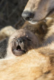 Wolf pup vocalizing for mother