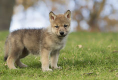 Wolf pup Stock Image