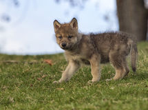 Wolf pup Royalty Free Stock Photography