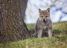 Wolf pup. Young gray wolf, or timber wolf pup on a hillside Royalty Free Stock Photos