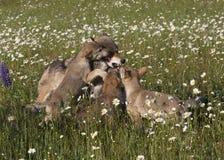 Wolf Puppies allegro Fotografie Stock Libere da Diritti