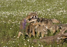 Wolf Puppies allegro in Wildflowers Fotografia Stock Libera da Diritti