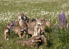 Wolf Puppies Royalty Free Stock Images