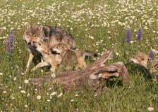 Wolf Puppies i vildblommor Arkivfoto