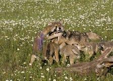 Wolf Puppies juguetón en Wildflowers Foto de archivo libre de regalías