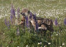Wolf Puppies in Purple Wildflowers Stock Images