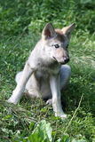Wolf puppy Stock Images