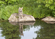 Wolf Puppy with Clear Reflection in Lake Royalty Free Stock Photos