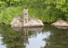 Wolf Puppy com reflexão clara no lago fotos de stock royalty free