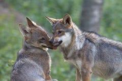 Wolf Puppy, der seinem Bruder Herrschaft zeigt Lizenzfreie Stockbilder